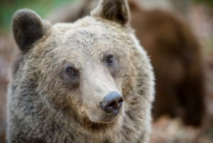 Фото медведя в Румынии